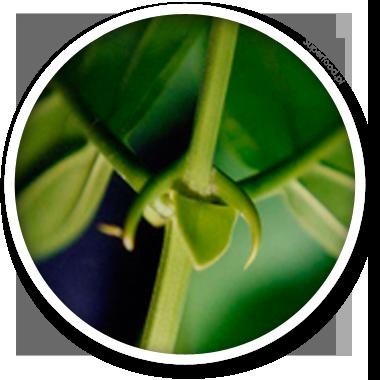 Vilcacora czyli Koci pazur zwiększa odporność organizmu